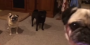[VIDEO] There Was A Nasty Pug Fight Going On In The Living Room Until The Magic Word Was Said