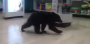 [VIDEO] Baby Bear Just Taking A Casual Stroll Through The Local Rite-Aid And I Seriously Can'tEven