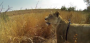 [VIDEO] Bro Straps A GoPro To A Lions Back So We Can Watch It Stalk And Kill A Buck